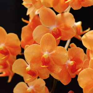 アスコノプシス花咲く苗セットAsconopsisIreneDobkin'Elmhurst'AM/AOS(Phal.DorisxAsctm.miniatum)