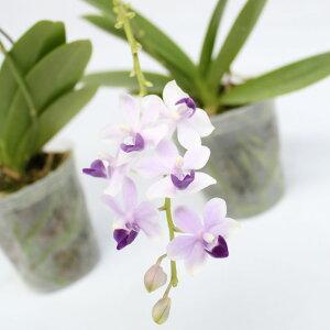 「ミニ胡蝶蘭紫式部」には2〜3号鉢セットが付属としてつきます☆Dtps.TzuChiangSapphireMurasakishikibu