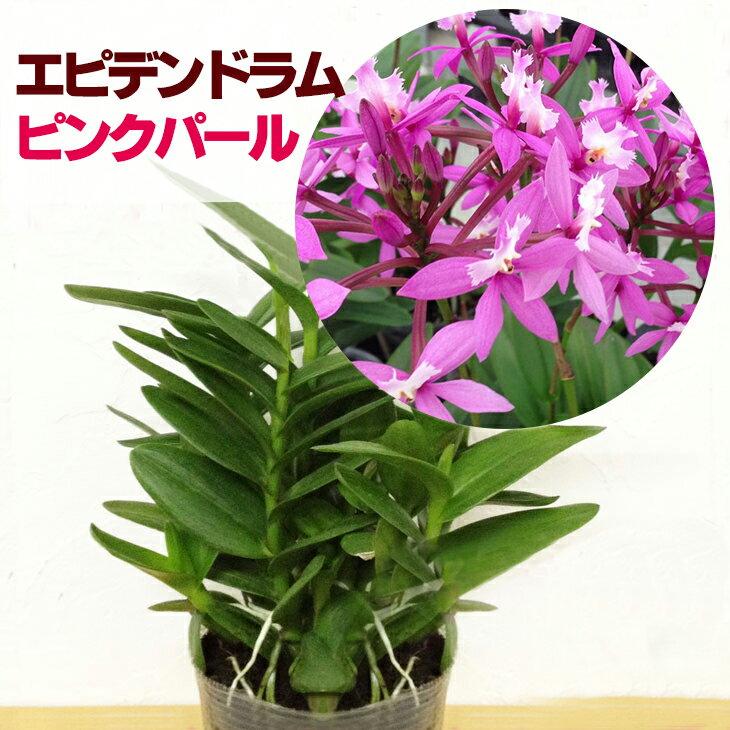 洋ラン『今ならつぼみ、または花付きも--エピデンドラム ピンクパール【花咲く苗セット】』育て方の説明書付き 洋蘭苗栽培キット花色、花本数、背丈、育てやすさ、どれもパーフェクトなエピデンドラムの最高品種です。