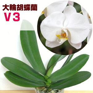 「大輪胡蝶蘭」P.SogoYukidianV3花咲く苗☆P.SogoYukidianV3