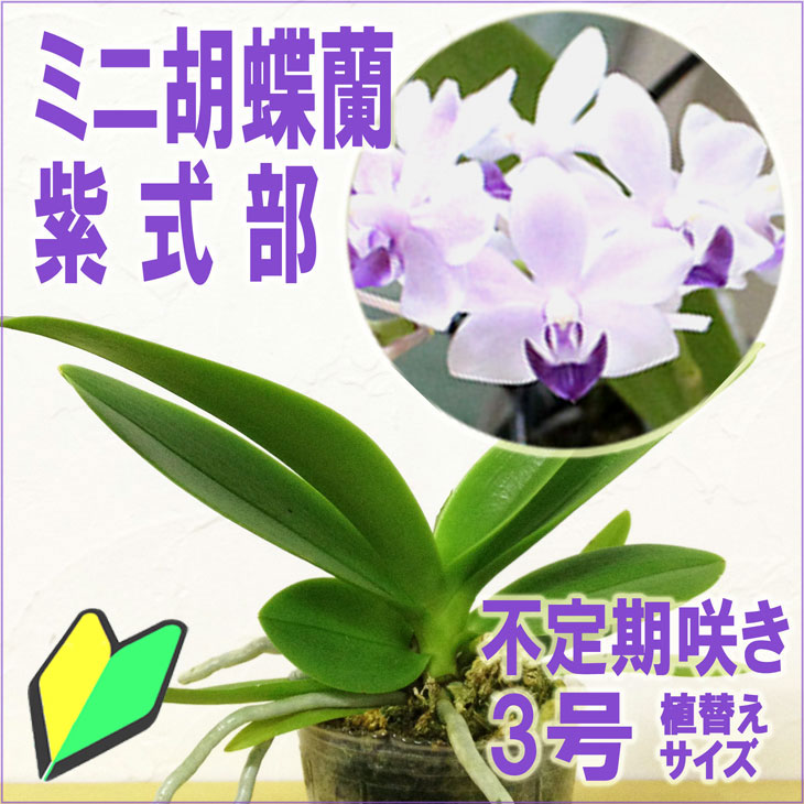 洋ラン『今なら花芽付きも-- 青い胡蝶蘭 紫式部 【花咲く苗セット】』育て方の説明書付き 洋蘭苗栽培キット