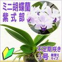 洋ランの苗『今ならつぼみ、または花付き--青い胡蝶蘭 紫式部 【花咲く苗セット】』洋ラン栽培セット(素焼き鉢 お花の説明書 肥料 受皿…