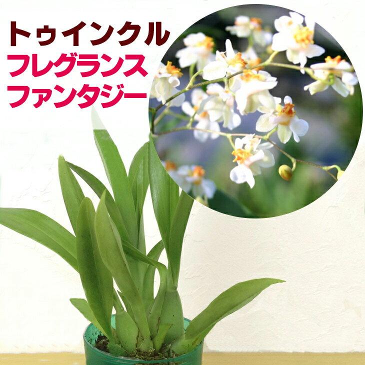 香る洋ラン『オンシジューム トゥインクル フレグランスファンタジー【花咲く苗セット】』NHK「趣味の園芸」で紹介されました♪ジャパンフラワーセレクション受賞育て方の説明書付き 洋蘭苗栽培キット