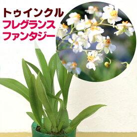 香る洋ランの苗『今なら花芽付き--オンシジューム トゥインクル フレグランスファンタジー【花咲く苗セット】』NHK「趣味の園芸」で紹介されました♪ジャパンフラワーセレクション受賞オンシジウム ツインクルオンシジウムの育て方
