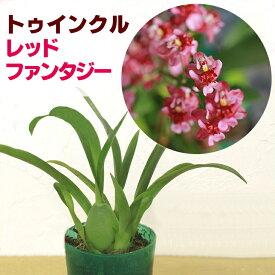 香る洋ランの苗『今なら花芽付き--オンシジューム トゥインクル レッドファンタジー 【花咲く苗セット】』ジャパンフラワーセレクション受賞NHK「趣味の園芸」で紹介されました♪オンシジウム ツインクルオンシジウムの育て方