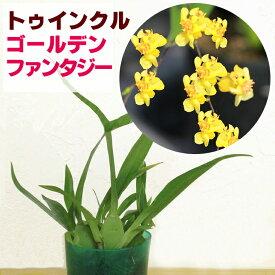 香る洋ランの苗『今ならつぼみ、または花付き--オンシジュームトゥインクル ゴールデンファンタジー【花咲く苗セット】』NHK「趣味の園芸」で紹介されました♪オンシジウム ツインクルオンシジウムの育て方 オンシジューム 育て方