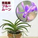 洋ランの苗『今ならつぼみ、または花付き--青風蘭 ブルームーン【花咲く苗セット】』NHK「趣味の園芸」で紹介された人…