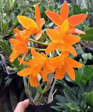 世界の蘭展で受賞多数の新品種『ミニカトレアヤンミンオレンジ』【栽培セット】洋ラン花咲く苗セットPot.ShinfongLittleSun'YoungminOrange'