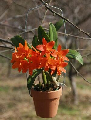 すごいオレンジ!世界の蘭展で受賞多数の新品種『ミニカトレアヤンミンオレンジ』【栽培セット】洋ラン花咲く苗セットPot.ShinfongLittleSun'YoungminOrange'