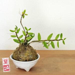 苔玉素晴らしい花を咲かせてくれます♪デンドロロディゲシー苔玉