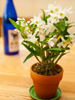 無霜地帯では屋外で越冬も出来るほど丈夫な日本生まれの品種【初心者の方に】『ミニデンドロビュームエンジェルベイビー【育てる栽培セット】』洋ラン花咲く苗セット育て方の説明書付きDen.AngelBaby'GreenAi'