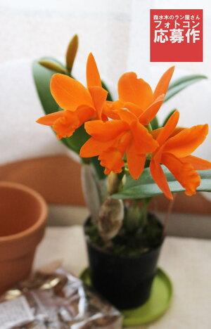 鮮やかなオレンジ色!育てやすさ・咲きやすさ◎初心者さんにも!世界の蘭展で受賞多数&一番人気の新品種をお試し価格でご提供『ミニカトレアヤンミンオレンジ【育てる栽培セット】』洋ラン花咲く苗セットPot.ShinfongLittleSun'YoungminOrange'