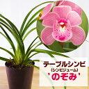 洋ランの苗『今なら花芽付き--シンビジューム(テーブルシンビ)'のぞみ' 4寸【花咲く苗セット】』洋ラン栽培セット(…