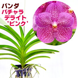 洋ランの苗『今ならつぼみ、または花付き--バンダ パチャラデライト 'ピンク'【花咲く苗セット】』洋ラン栽培セット(お花の説明書保証書付き) 洋ランの育て方の説明書付き 洋蘭苗栽培キット植え替えバンダの育て方 バンダ 育て方