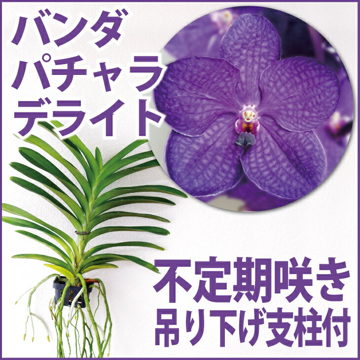 洋ラン『今ならつぼみ、または花付き--バンダ パチャラデライト 'ブルー'【花咲く苗セット】』 育て方の説明書付き 洋蘭苗栽培キット