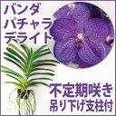 10cmほどの大きな濃いブルーの花を咲かせる『今なら花芽付き--バンダ パチャラデライト'ブルー'」【育てる栽培セッ…