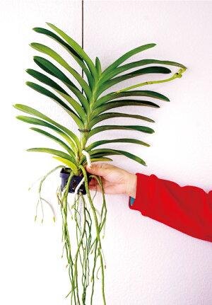 今ならつぼみ付き--『10cmほどの大きな濃いブルーの花を咲かせる「バンダパチャラデライト'ブルー'」【育てる栽培セット】』洋ラン花咲く苗セット根もお楽しみ頂ける着生ラン!育て方の説明書付き