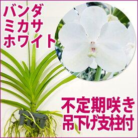 洋ランの苗『今なら花芽付き--バンダ ミカサ ホワイト【花咲く苗セット】』洋ラン栽培セット超希少!当店初出品ホワイトのバンダほんのり黄色の入った温かみのある可愛らしいお花です洋ラン栽培セット(お花の説明書保証書付き) バンダの育て方