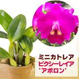「ミニカトレアミニパープルセルレア」花咲く苗セットCattleya(Laeliocattleya)MiniPurplecoerulea