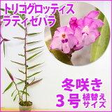 「トリコグロッティスブラキアータ」花咲く苗