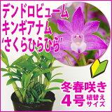 白と赤紫の花色が可愛らしい初心者の方に超おススメ!!『今ならつぼみ〜花付き--デンドロ品種キンギアナムさくらひらひら【育てる栽培セット】』洋ラン花咲く苗セット