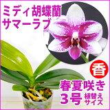 「ミニ胡蝶蘭ヴェルヴェットドロップ」花咲く苗☆