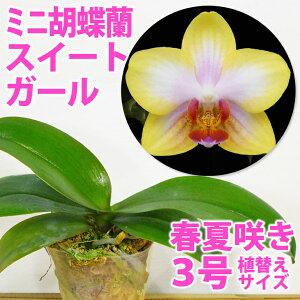 「胡蝶蘭ゴールデンサンド」花咲く苗☆