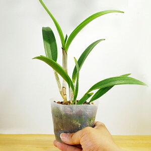 今ならつぼみ〜花付き--『ミディカトレアミカワブーケ【育てる栽培セット】』洋ラン花咲く苗セット小さな人魚という名の花