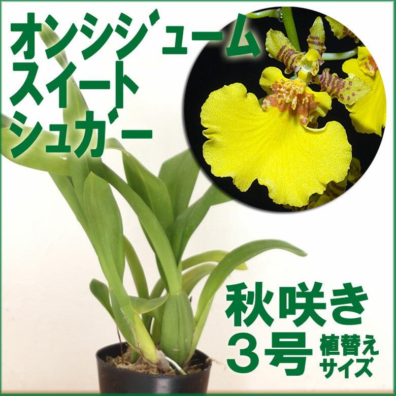 洋ラン『今なら花付きも--オンシジューム スイートシュガー【花咲く苗セット】』初心者さんに勧めたい育てやすさ&咲きやすさ◎の蘭育て方の説明書付き 洋蘭苗栽培キット