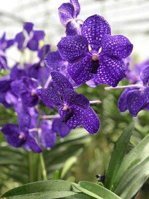 10cmほどの大きな濃いブルーの花を咲かせる『バンダパチャラデライト'ブルー'」【育てる栽培セット】』洋ラン花咲く苗セット根もお楽しみ頂ける着生ラン!育て方の説明書付き