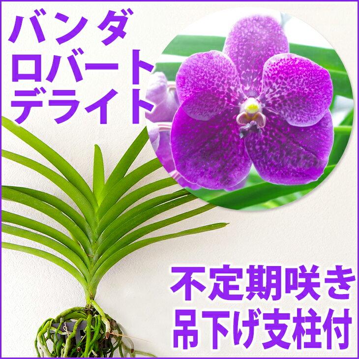 洋ラン『今なら花芽付きも--バンダ ロバート デライト 【花咲く苗セット】』 育て方の説明書付き 洋蘭苗栽培キット