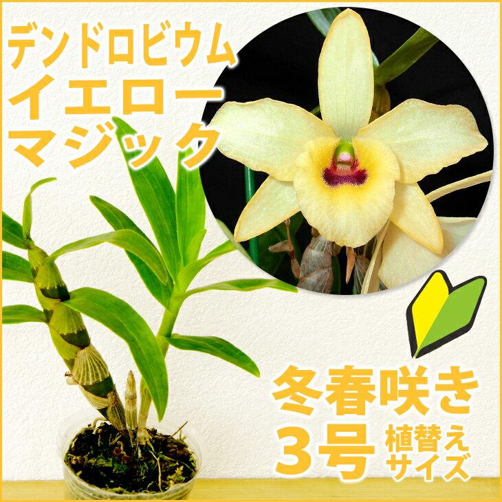 洋ラン『デンドロビューム イエローマジック 'フェスティバル'【花咲く苗セット】』その名の通りお祭りのようなにぎやかなお花です。褐色のリップも可愛さ満点!育て方の説明書付き 洋蘭苗栽培キット