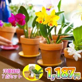 お一人様1回限り『洋ラン栽培 お試しセット』花咲く苗 1187(イイハナ)セット 洋蘭苗の花芽付き株に初心者でも簡単に育てられる資材7点を付けた栽培キット