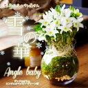 【冬限定】『洋蘭デンドロビウム エンジェルベイビー'グリーン愛' ガラス鉢仕立て「雪の華」』陶器鉢花お誕生日 お…