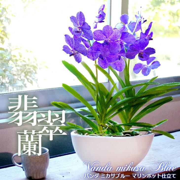 【少量・限定開花中】洋ラン『翡翠蘭-バンダ 豪華2本マリンポット仕立て』空中に美しい根を出すバンダは、吊り下げ栽培にも最適!誕生日のお花やご自宅のリビングにも♪