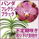 激レア!淡い紫色の花に濃い紫〜茶色のドット入り『バンダ フレグランス ブラック」【育てる栽培セット】』 洋ラン花…