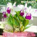 『ミディカトレア ドロシーオカヒノモト マリンポット鉢』陶器鉢花
