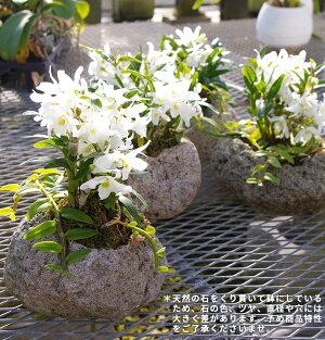 『和風軽石仕立てミニデンドロエンジェルベイビー'グリーン愛'』和の雰囲気で楽しむオシャレ軽石栽培盆栽好きの方に!自宅で楽しむ趣味の園芸に最適!