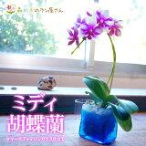 テーブルでいつも楽しめるコンパクトサイズ♪伝説の青の胡蝶蘭