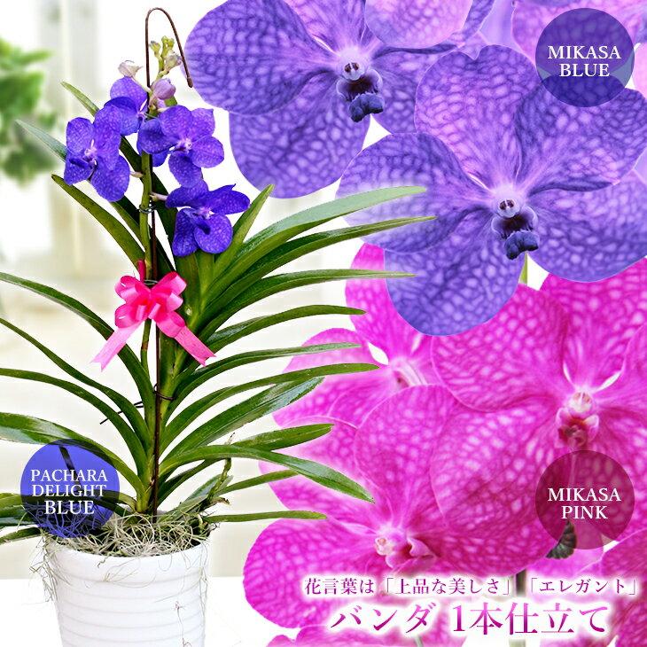 【少量・限定開花中】洋ラン『バンダ 1本仕立て』選べる3タイプ空中に美しい根を出すバンダは、吊り下げ栽培にも最適!花言葉は「上品な美しさ」「エレガント」誕生日のお花やご自宅のリビングにも♪