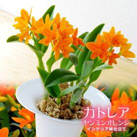 洋ランギフト『カトレア ヤンミンオレンジ 陶器鉢仕立て』元気いっぱいなオレンジ色の花を今だけの特別なプレゼントに&ご自宅での観賞用にも