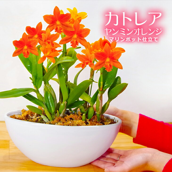 洋ラン『ミニカトレア「ヤンミンオレンジ」マリンポット仕立て』陶器鉢花蘭の女王 カトレアはお誕生日ギフトに最適