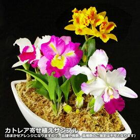 『ミディカトレア 舟形大鉢仕立て』陶器鉢花送料無料