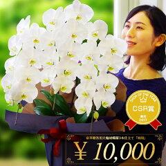 白大輪胡蝶蘭3本立ち1万円