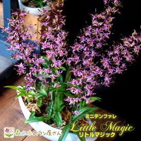 希少なミニデンファレの超豪華仕立て『ミニデンファレ リトルマジック 舟形大鉢』陶器鉢花無数に舞う鮮やかな小花の名品種!花付きがよく育てやすいレア品種です!
