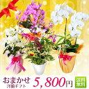 『洋蘭ギフト☆☆☆』 おまかせ5800 楽天年間ランキング連続受賞 フラワーギフトに迷ったらおまかせ洋ラン鉢植え 花ギフト 蘭 鉢花 鉢…