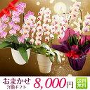 『洋蘭ギフト☆☆☆☆』 おまかせ8000 楽天年間ランキング連続受賞 フラワーギフトに迷ったらおまかせ洋ラン鉢植え 花ギフト 鉢花 お祝…