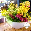香る洋ラン『オンシジューム トゥインクル フレグランスファンタジーMIX(舟形大鉢) 陶器 鉢花 ギフト用』 ボリューム…