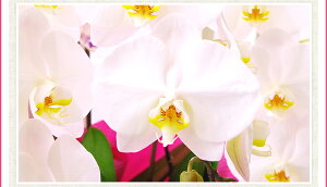 洋ラン『今なら花〜つぼみ付き-大輪白胡蝶蘭V3【花咲く苗セット】』世界で最も選ばれている最高峰ファレノプシスの白品種をご自宅で!育て方の説明書付き洋蘭苗栽培キット父の日ギフト、洋蘭栽培の趣味をプレゼントに!