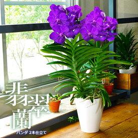 【少量・限定開花中】洋ラン『バンダ 豪華2本仕立て』選べる3タイプ空中に美しい根を出すバンダは、吊り下げ栽培にも最適!誕生日のお花やご自宅のリビングにも♪